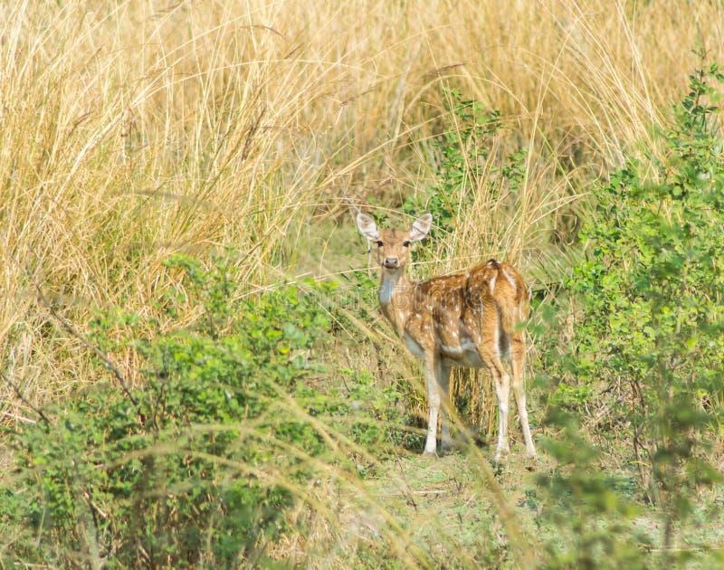 Επισημασμένα Cheetal ελάφια στο λιβάδι στοκ εικόνες