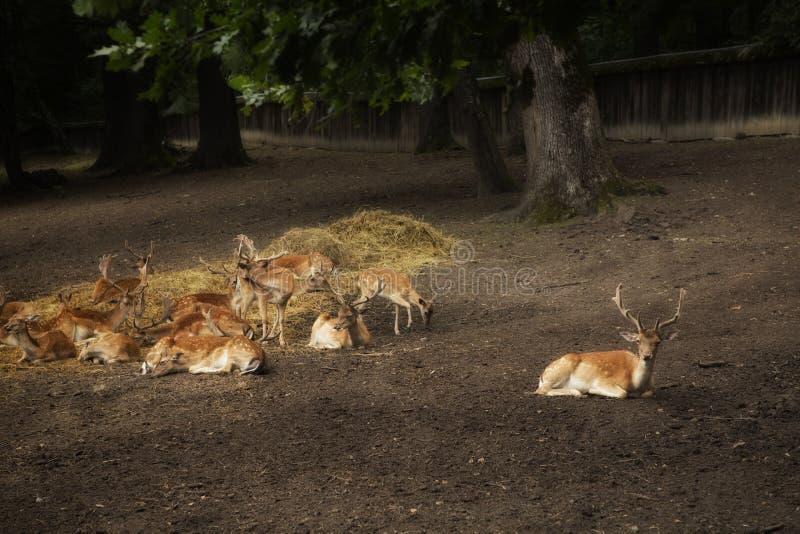 Επισημασμένα Sika deers στοκ εικόνες