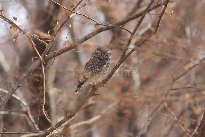 Επισημασμένη κουκουβάγια Owlet, Ranthambore, Ινδία στοκ εικόνες