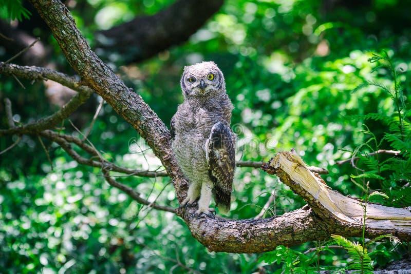 Επισημασμένη συνεδρίαση μπούφων σε έναν κλάδο δέντρων στο Καίηπ Τάουν στοκ φωτογραφία