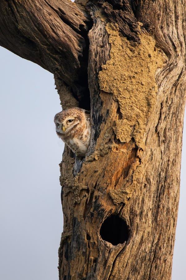 Επισημασμένη συνεδρίαση brama Athene owlet σε μια κοιλότητα ενός δέντρου στη KE στοκ εικόνα με δικαίωμα ελεύθερης χρήσης