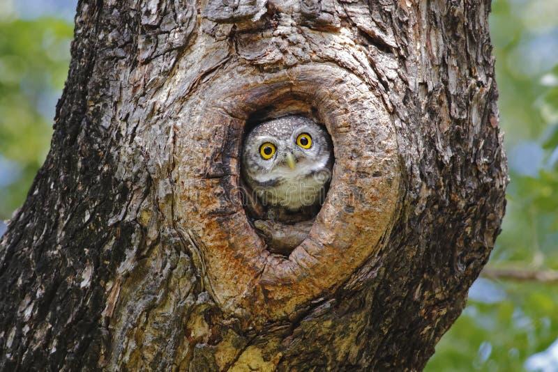 Επισημασμένη φωλιά owlet στο δέντρο κοίλο στοκ φωτογραφία με δικαίωμα ελεύθερης χρήσης