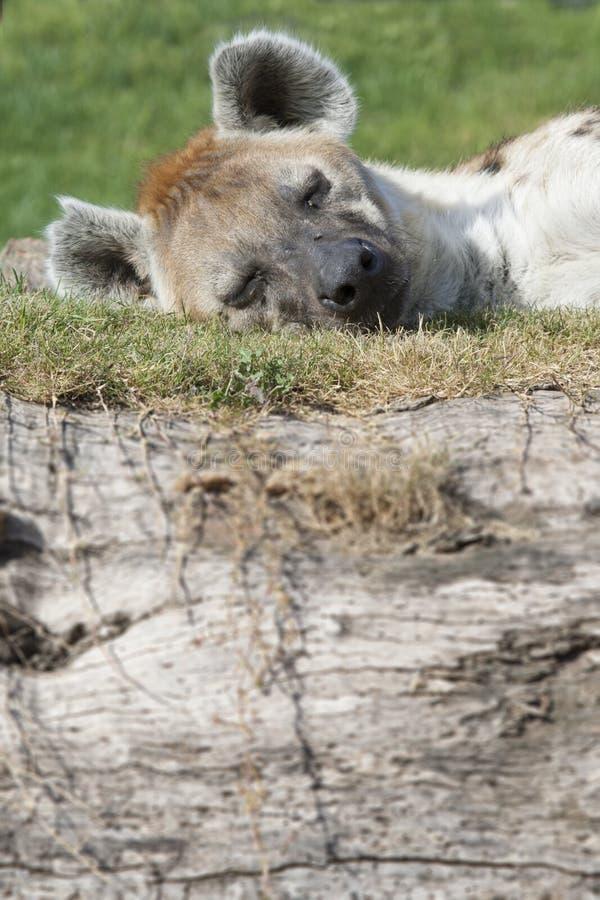 Επισημασμένος ύπνος hyena στοκ εικόνες με δικαίωμα ελεύθερης χρήσης