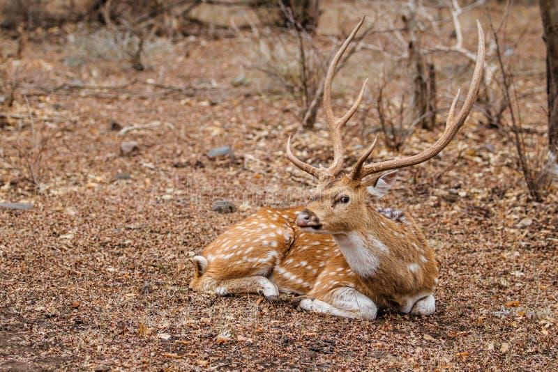 Επισημασμένο αρσενικό ελάφι ελαφιών στην Ινδία στοκ εικόνες με δικαίωμα ελεύθερης χρήσης