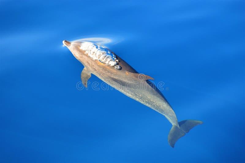Επισημασμένο δελφίνι που πηγαίνει επάνω να αναπνεύσει στοκ φωτογραφίες με δικαίωμα ελεύθερης χρήσης