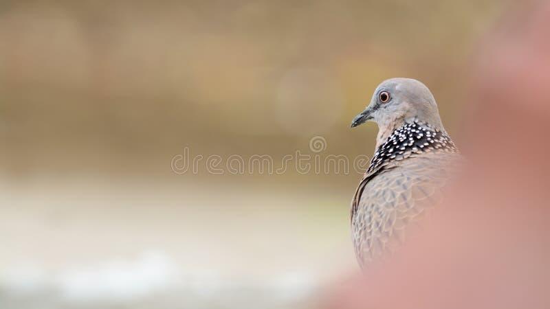 Επισημασμένο περιστέρι (πουλί) με το copyspace στοκ φωτογραφίες με δικαίωμα ελεύθερης χρήσης