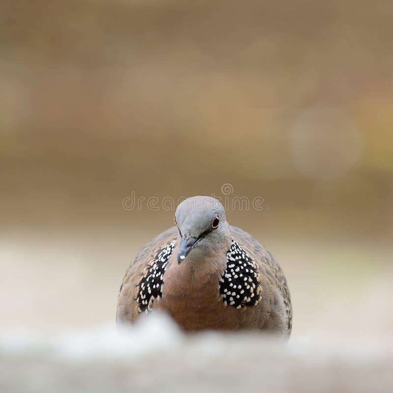 Επισημασμένο περιστέρι (πουλί) στοκ εικόνα με δικαίωμα ελεύθερης χρήσης