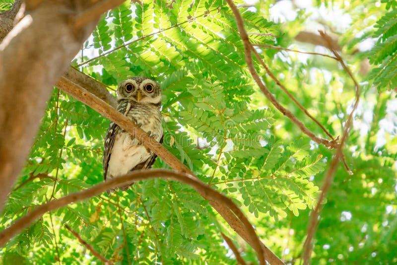 Επισημασμένο brama Owlet Athene που σκαρφαλώνει σε έναν κλάδο στοκ εικόνες