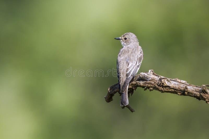 Επισημασμένο flycatcher στο εθνικό πάρκο Kruger, Νότια Αφρική στοκ φωτογραφίες