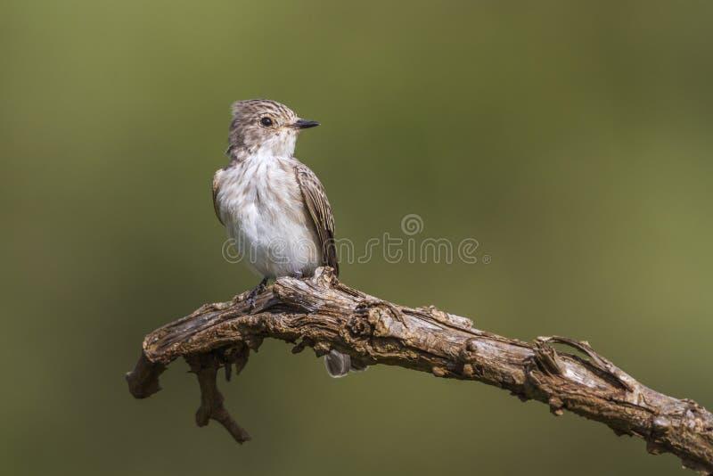 Επισημασμένο flycatcher στο εθνικό πάρκο Kruger, Νότια Αφρική στοκ εικόνες