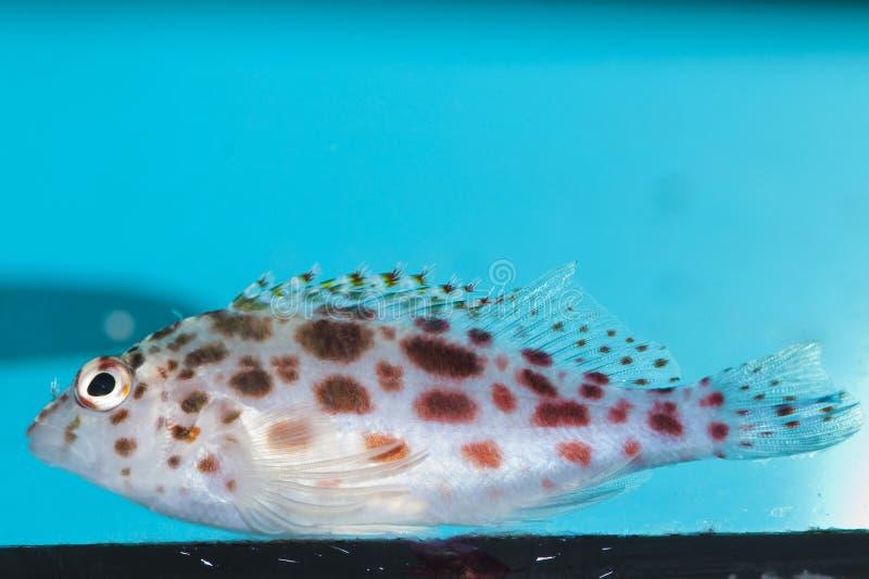 Download Επισημασμένο Hawkfish στο ενυδρείο Στοκ Εικόνες - εικόνα από ύδωρ, θάλασσα: 13182964