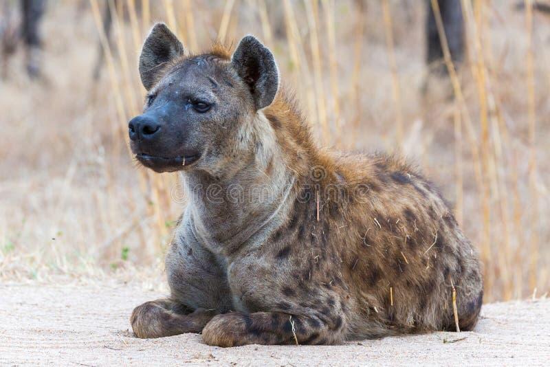 Επισημασμένο Hyena στην επιφυλακή στοκ φωτογραφίες