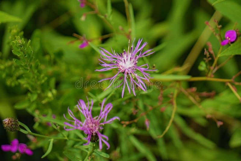 Επισημασμένο Knapweed †«Centaurea maculosa στοκ εικόνες
