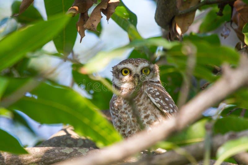 Επισημασμένο Owlet μια μικρή κουκουβάγια στοκ εικόνα
