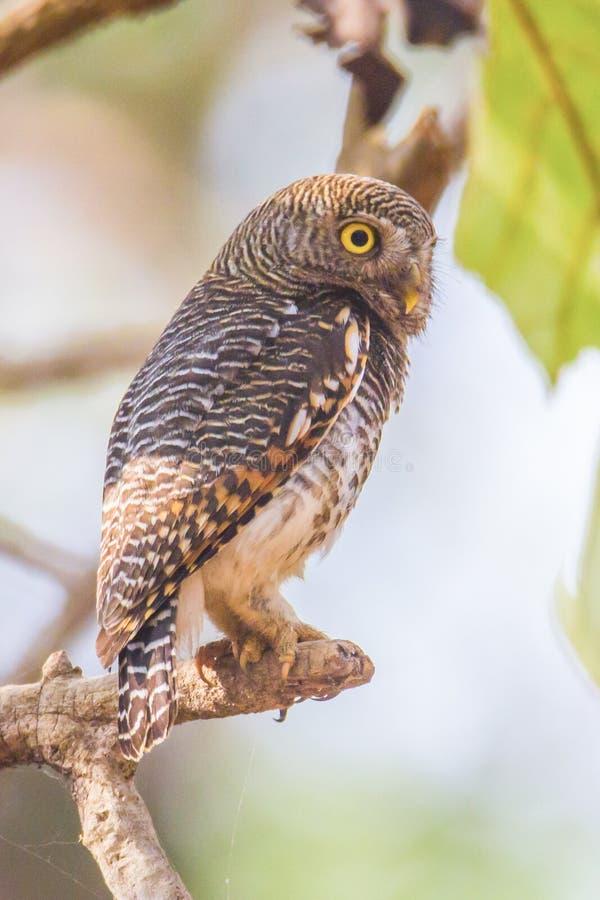 Επισημασμένο owlet που σκαρφαλώνει σε έναν κλάδο στοκ εικόνα με δικαίωμα ελεύθερης χρήσης