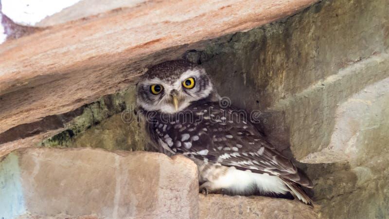 Επισημασμένο Owlet σε ένα παλαιό παλάτι στην mandu-Ινδία στοκ φωτογραφίες με δικαίωμα ελεύθερης χρήσης