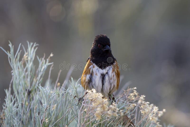 επισημασμένο pipilo towhee maculatus στοκ εικόνες