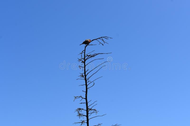 Επισημασμένο Towhee σε ένα πολύ γυμνό δέντρο ενάντια σε έναν πολύ μπλε ουρανό, 1 στοκ εικόνες