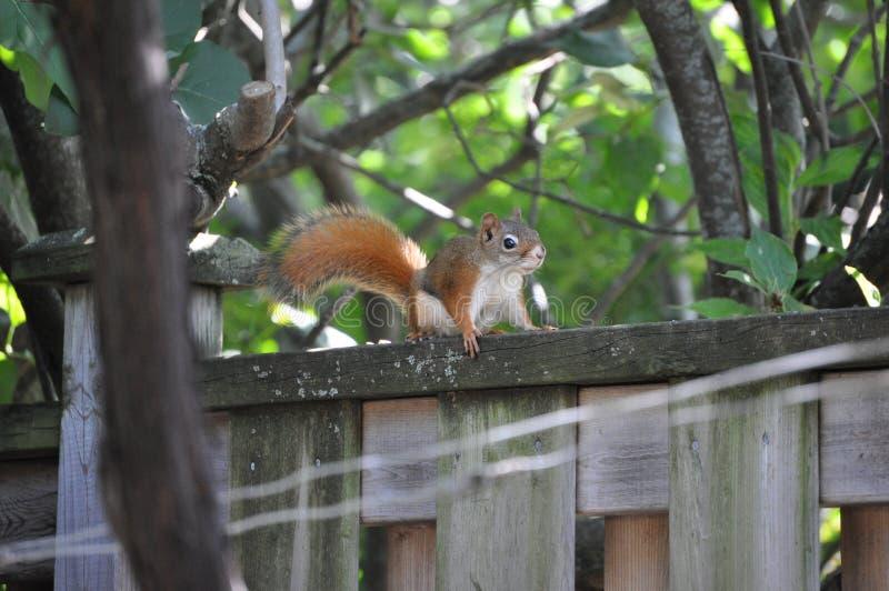 Επισκέπτης πίσω αυλή - Κόκκινος σκίουρος στοκ εικόνα