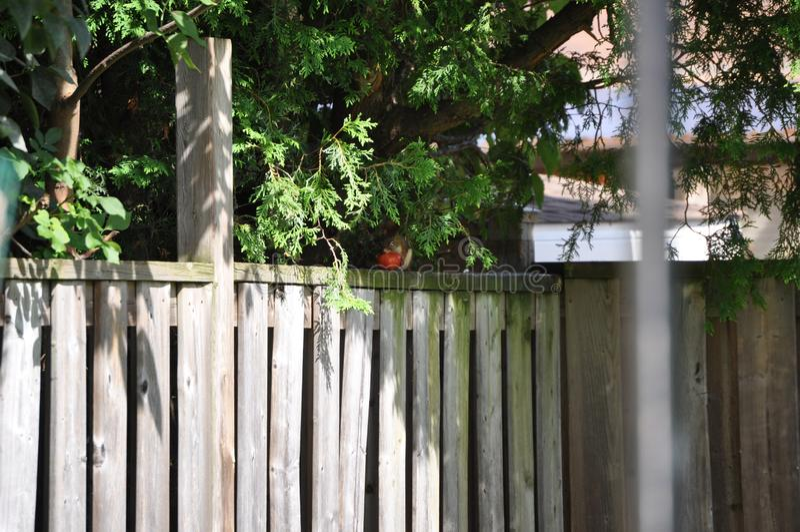 Επισκέπτης πίσω αυλή - Κόκκινος σκίουρος στοκ εικόνα με δικαίωμα ελεύθερης χρήσης