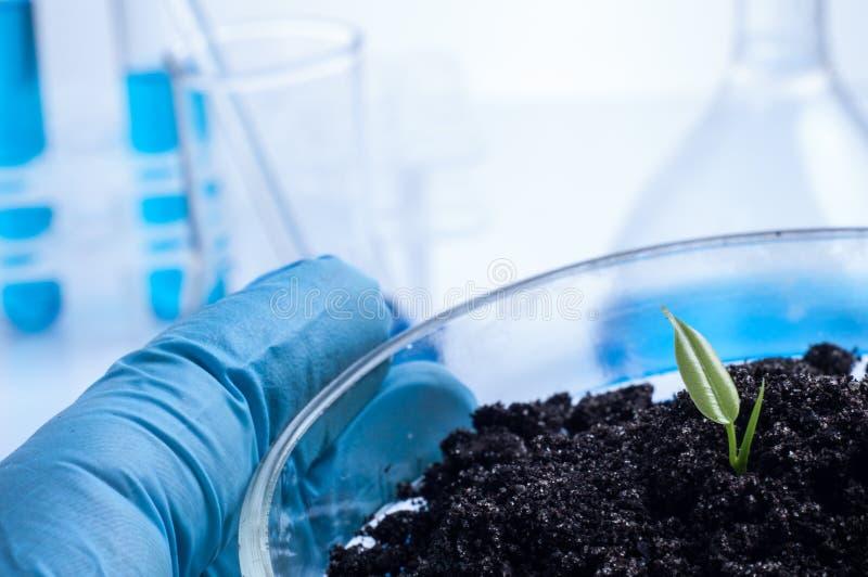 Επιστήμη, η βιολογία, οικολογία, έρευνα και έννοια ανθρώπων - κλείστε επάνω των χεριών επιστημόνων κρατώντας petri το πιάτο με το στοκ εικόνα