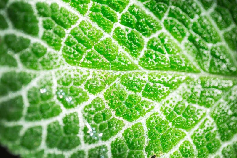 Επιστήμη της οικολογίας Πράσινη χλωροφύλλη σύστασης φύλλων κινηματογραφήσεων σε πρώτο πλάνο και διαδικασία της φωτοσύνθεσης στοκ εικόνα