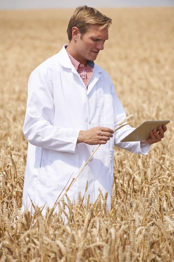 Επιστήμονας με την ψηφιακή ταμπλέτα που εξετάζει τη συγκομιδή σίτου στον τομέα στοκ φωτογραφία