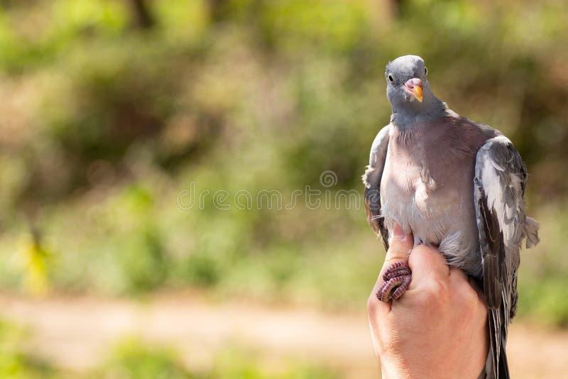 Επιστήμονας που κρατά ένα ξύλινο palumbus Columba περιστεριών στην ενώνοντας/χτυπώντας σύνοδο πουλιών στοκ εικόνα με δικαίωμα ελεύθερης χρήσης