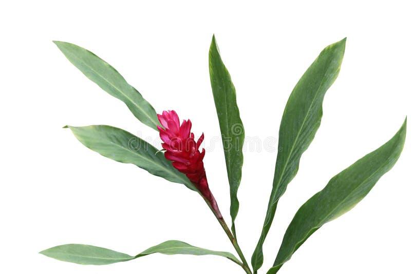 επιστημονικό speciosus ονόματος πιπεροριζών λουλουδιών costus στοκ φωτογραφία με δικαίωμα ελεύθερης χρήσης