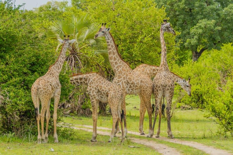 Επιφύλαξη παιχνιδιού της Τανζανίας - Selous στοκ εικόνα