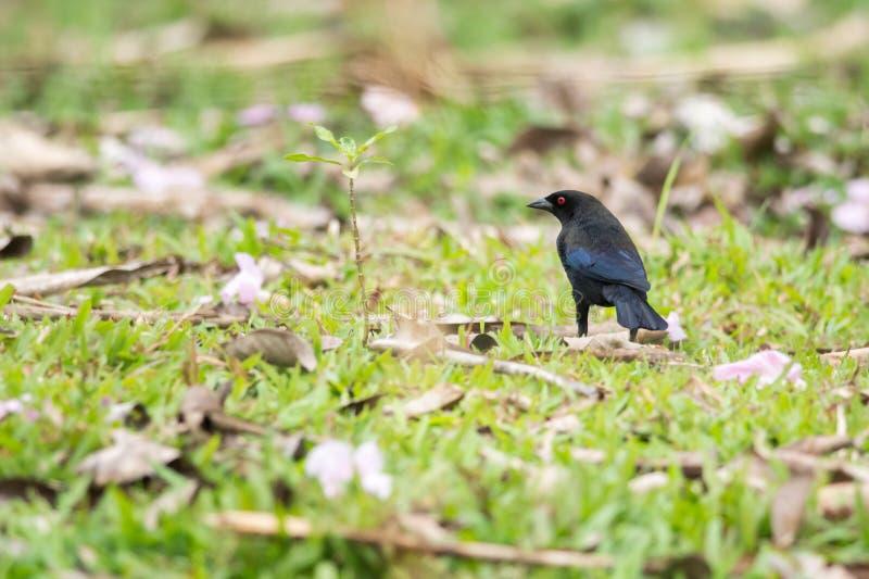 Επιχαλκωμένο Cowbird στοκ φωτογραφίες