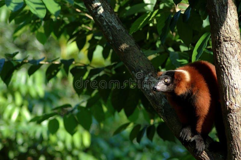 Download επιχειρησιακός πίθηκος στοκ εικόνες. εικόνα από υψηλός - 382446