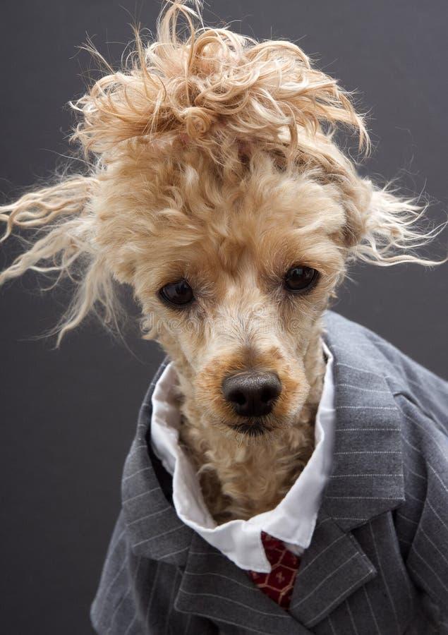 Επιχειρησιακό Poodle με την τρελλή τρίχα στοκ εικόνα