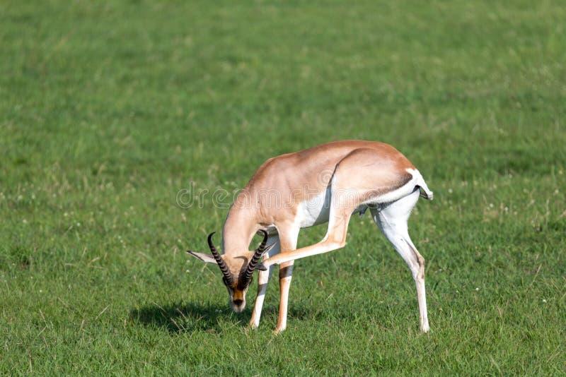 Επιχορήγηση gazelles σε ένα πράσινο λιβάδι σε ένα εθνικό πάρκο στην Κένυα στοκ φωτογραφίες με δικαίωμα ελεύθερης χρήσης