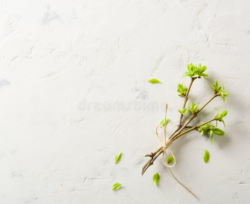 Επιδεμένοι κλάδοι με τους οφθαλμούς και φύλλα στο λευκό πλήρης άνοιξη λιβαδιών πικραλίδων ανασκόπησης κίτρινη στοκ εικόνες