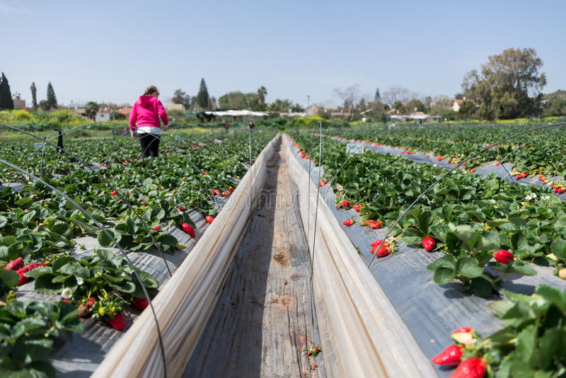 Επιλογή φραουλών στο δοχείο μεταφοράς άνθρακα εκτάριο Sharon στοκ εικόνες