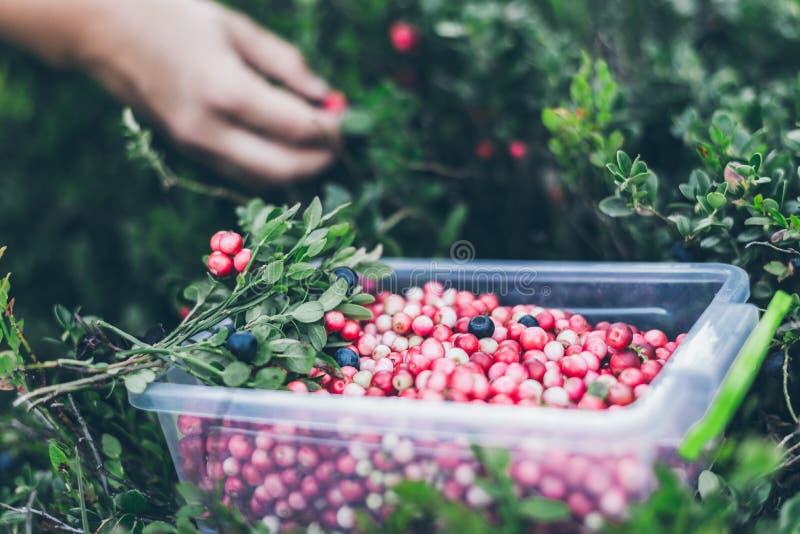 Επιλογή lingonberry Γυναίκα που συλλέγει τα άγρια μούρα στοκ εικόνα