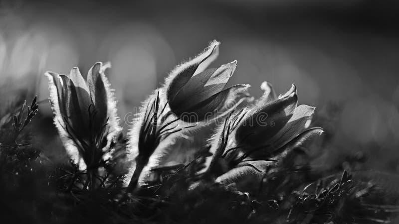 Εποχή άνοιξης Υπέροχα τα λουλούδια άνοιξη που ανθίζουν pasque ανθίζουν στο ηλιοβασίλεμα με ένα φυσικό χρωματισμένο υπόβαθρο στοκ εικόνα με δικαίωμα ελεύθερης χρήσης