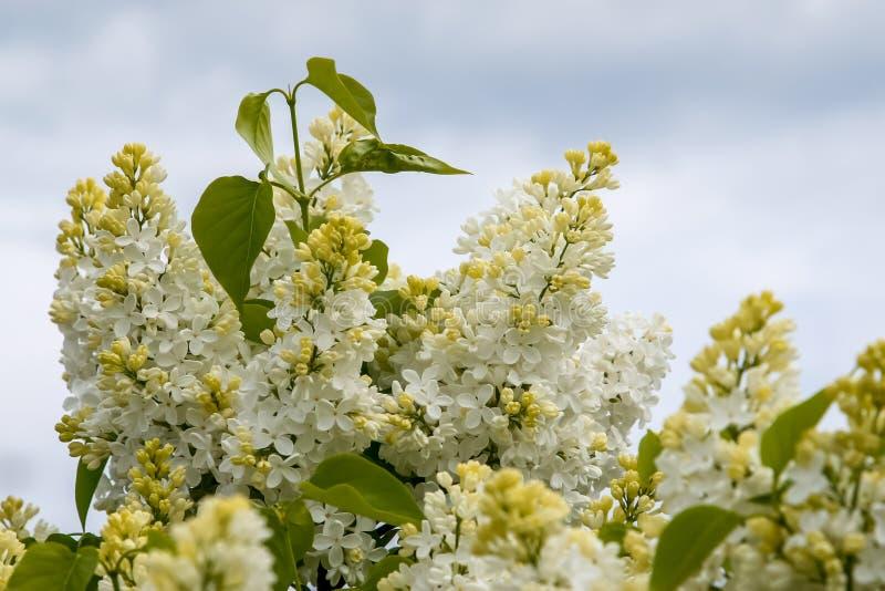 Εποχή λουλουδιών άνθισης άσπρη ιώδης την άνοιξη στοκ φωτογραφίες με δικαίωμα ελεύθερης χρήσης