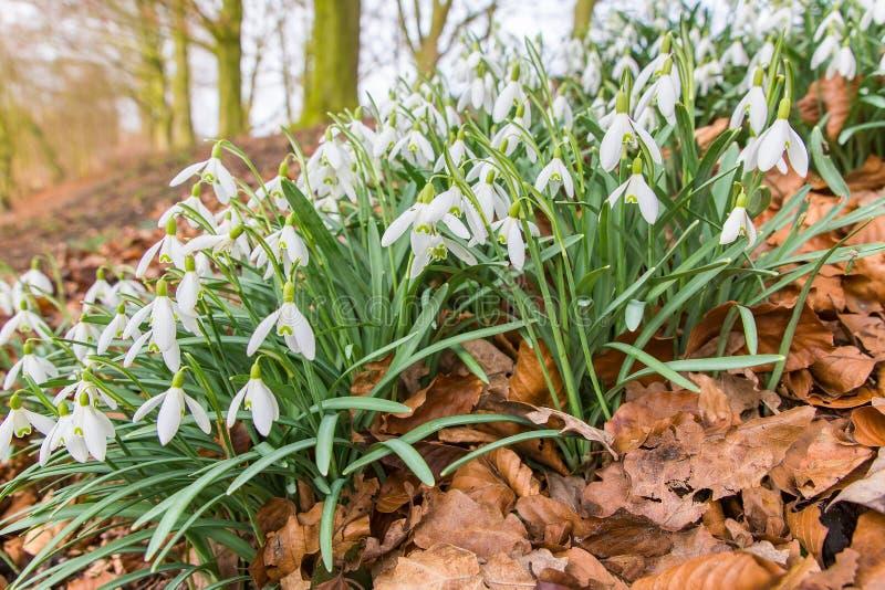 Εποχή λουλουδιών Snowdrops που ανθίζουν την άνοιξη στοκ φωτογραφία
