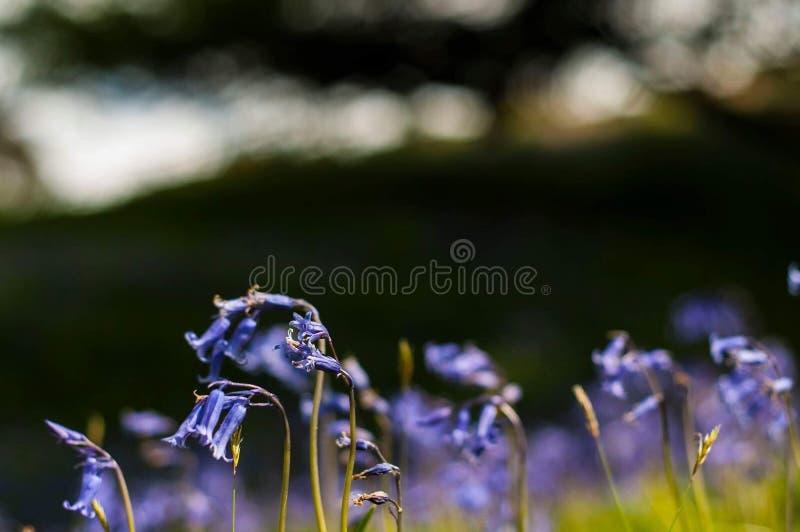 Εποχή των bluebells στοκ εικόνες