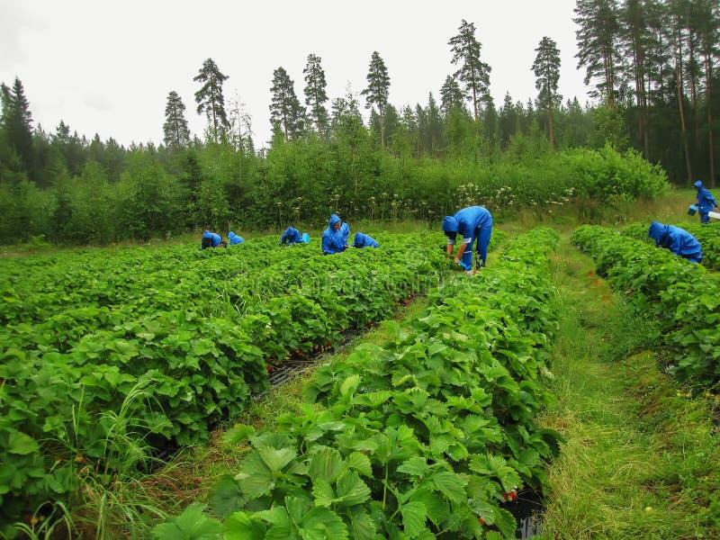 Εποχιακοί εργαζόμενοι γυναικών στο μπλε κοστούμι βροχής για να επιλέξει τις φράουλες στοκ εικόνες
