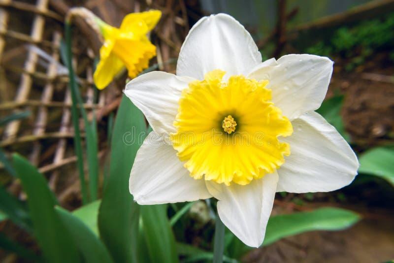 Εποχικότητα της φύσης στον κήπο κατωφλιών, Daffodil στοκ εικόνα