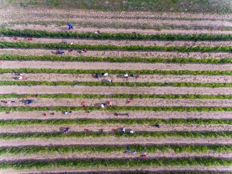 Εργαζόμενοι που συγκομίζουν στον αμπελώνα, εναέρια άποψη άνωθεν στοκ φωτογραφία με δικαίωμα ελεύθερης χρήσης