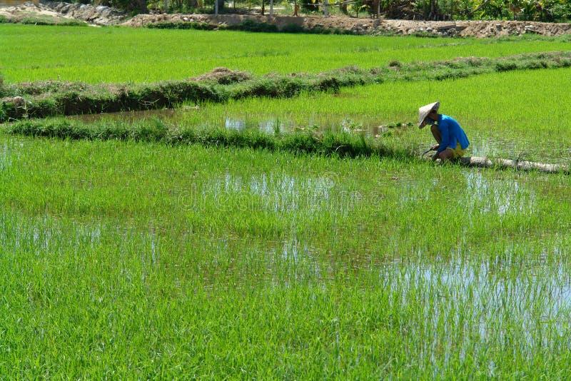 εργαζόμενοι ρυζιού στοκ εικόνα