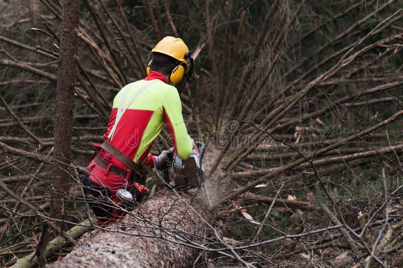 Εργαζόμενος δασονομίας που τακτοποιεί το καταρριφθε'ν κομψό δέντρο με το αλυσιδοπρίονό του στοκ εικόνες