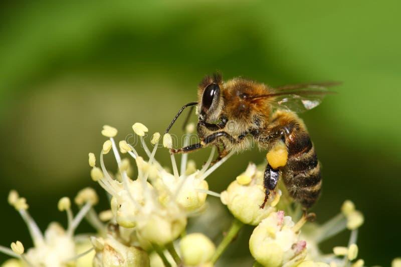 εργαζόμενος μελισσών στοκ φωτογραφίες με δικαίωμα ελεύθερης χρήσης