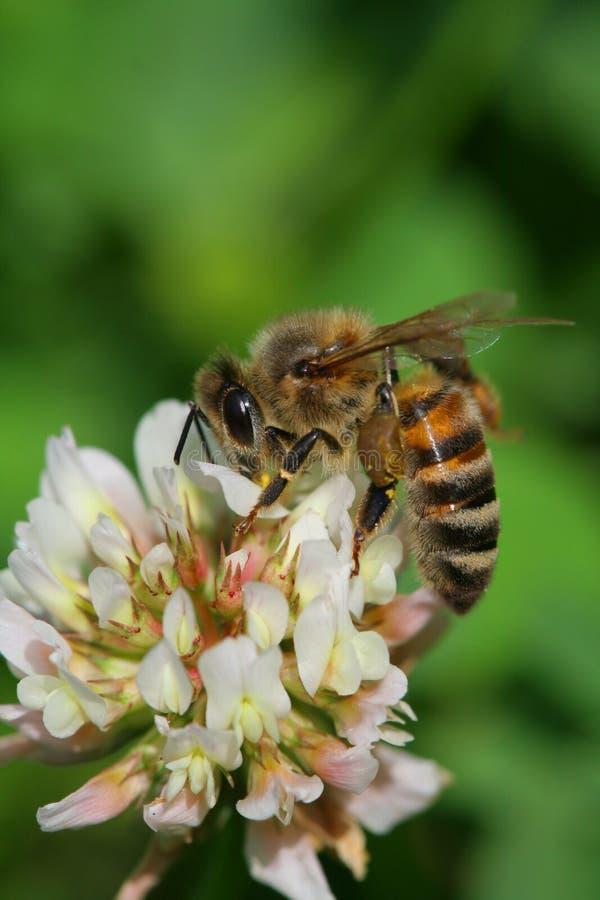 εργαζόμενος μελισσών στοκ φωτογραφία με δικαίωμα ελεύθερης χρήσης