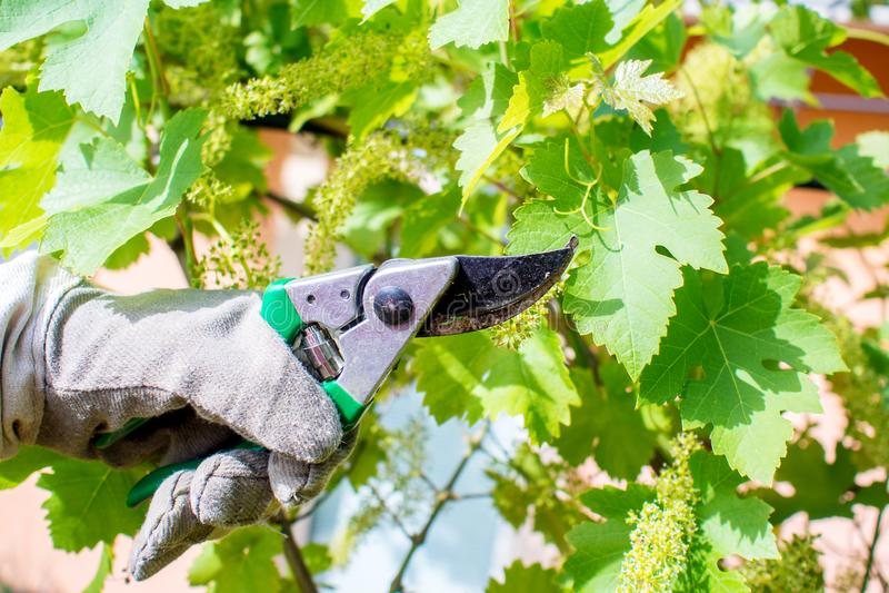 Εργαζόμενος στον κήπο, κοπή σταφυλιών αμπέλων στοκ φωτογραφία με δικαίωμα ελεύθερης χρήσης