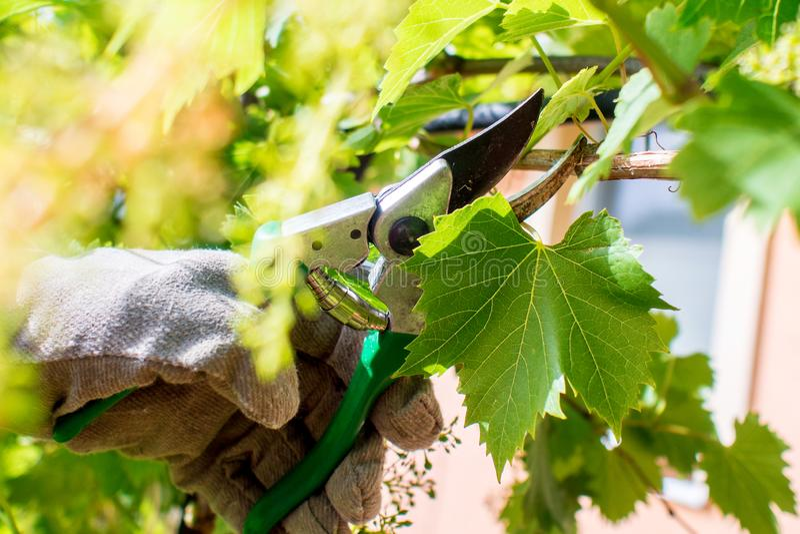 Εργαζόμενος στον κήπο, κοπή σταφυλιών αμπέλων στοκ φωτογραφία